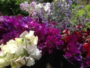 Summer-sweet-pea-selection