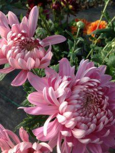 Autumn-crysanthemums2
