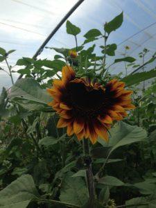 Summer-heart-shaped-sunflower