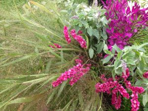 Autumn-grasses-and-cleome