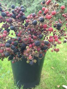 Autumn-blackberry-bucket