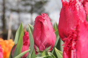 Spring-fringed-tulip