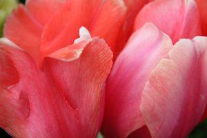 Spring-tulip-close-up