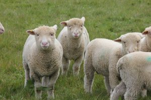 Spring-lambs2